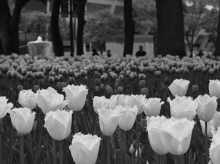 Tulip12